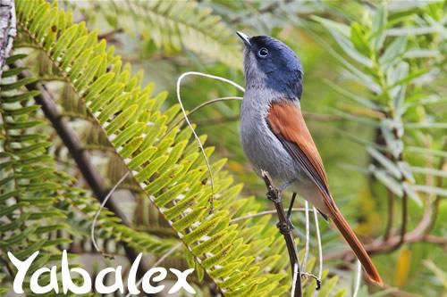 """Résultat de recherche d'images pour """"oiseaux  de la Réunion yabalex"""""""