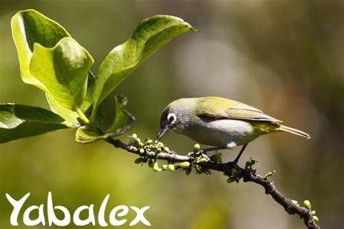 """Résultat de recherche d'images pour """"oiseau lunettes verts yabalex"""""""